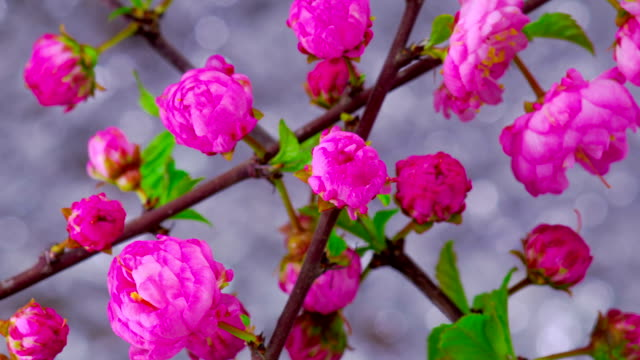 Pink Sakura Tree Flowers. video