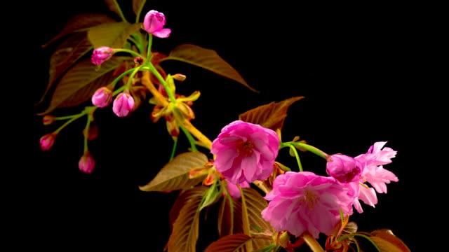 Pink Sakura Tree Flowers video