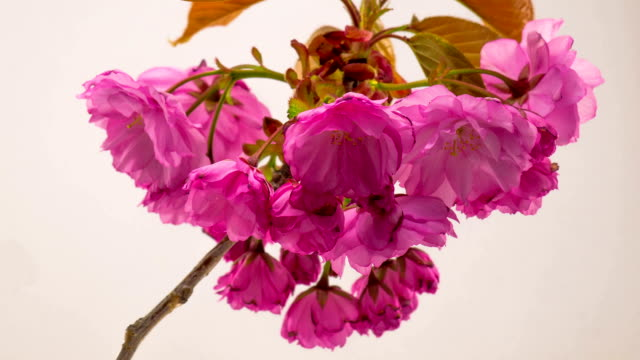 Pink Sakura Tree Flowers. video