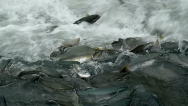pink salmon - laichen stock-videos und b-roll-filmmaterial