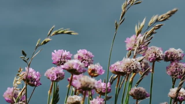 pink sea thrift blowing in slow motion on the cliffs at Pentire, Newquay, Cornwall. video