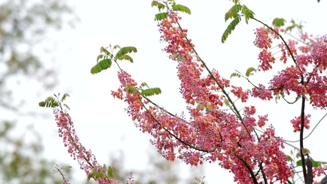 Pink Shower flowers are  blossoming video