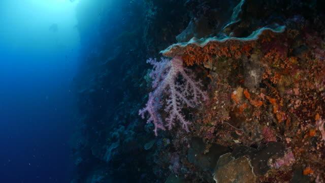 vídeos y material grabado en eventos de stock de rosa coral blando en alta mar - zona pelágica
