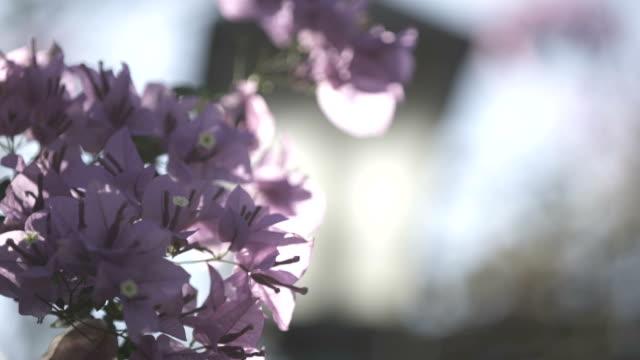 Flores da primavera rosa - vídeo