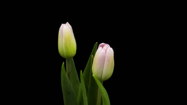 Pink Tulip Time Lapse Blooming time lapse 4k: pink tulip with black background tulip stock videos & royalty-free footage