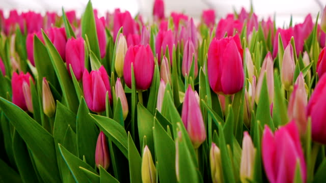 pink tulips flowers . growing ornamental and flowers for landscape design and gifts - marzo video stock e b–roll