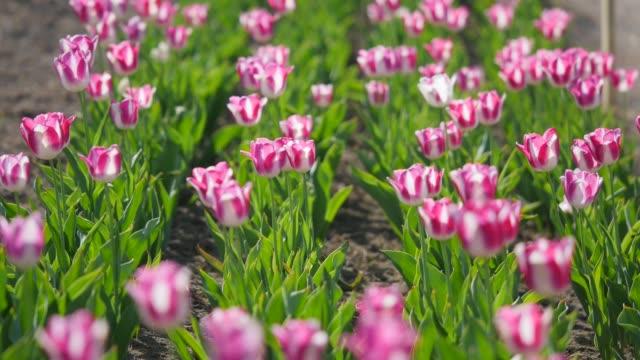 ピンクのチューリップのフィールド - キューケンホフ公園点の映像素材/bロール
