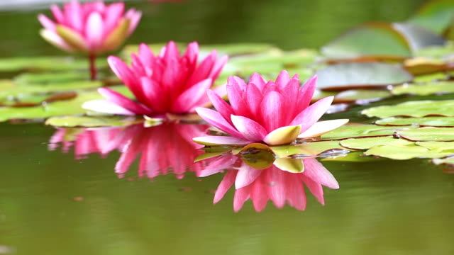 Pink Water Lily video