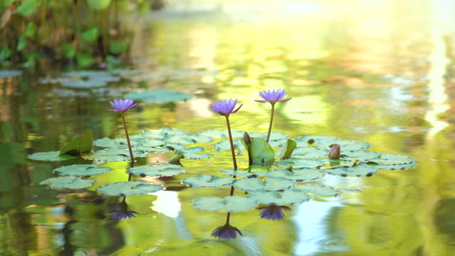 pink water lily with lotus leaf on pond. waterlily in garden pond. beautiful purple lotus, water plant in a lake. - пруд стоковые видео и кадры b-roll