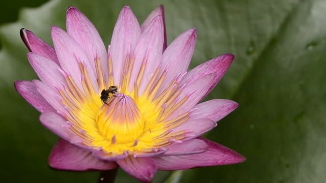 stockvideo's en b-roll-footage met pink waterlily and bee - arthropod