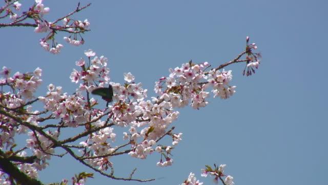 rosa/bianco a fiori di ciliegio e farfalla - farfalla ramo video stock e b–roll
