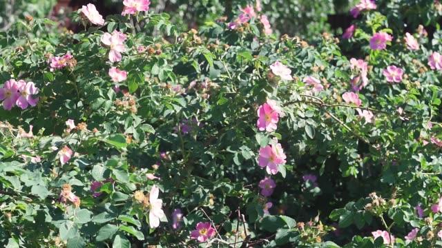 春に咲くピンクの野生のバラの花 - イヌバラ点の映像素材/bロール