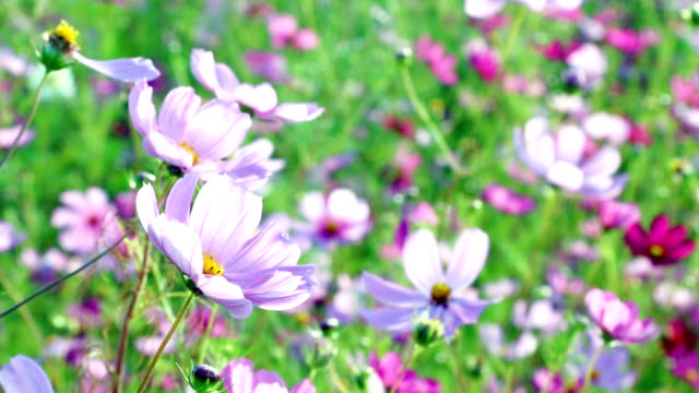 vídeos de stock e filmes b-roll de pink wildflowers in the wind. uncultivated meadow - granadilha