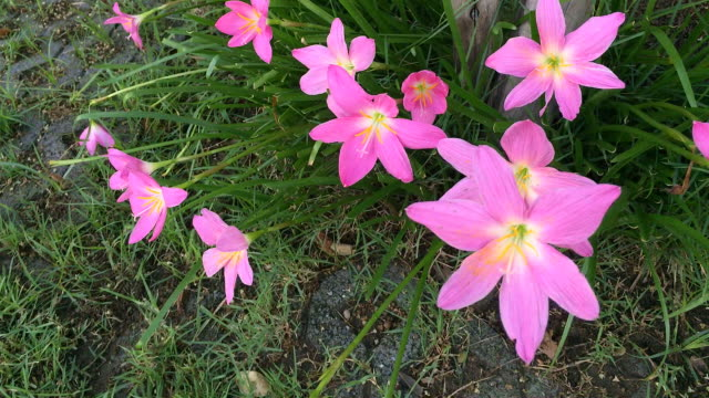 Pink zephyranthes flowers rain lily video