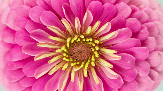 Pink Zinnia Flower Blooming