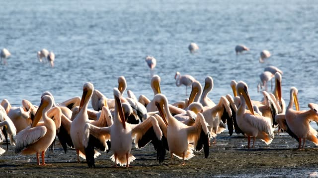 Pink-backed pelican colony in Walvis bay, Namibia Pink-backed pelican and rosy flamingo colony in Walvis bay, Namibia safari wildlife swakopmund stock videos & royalty-free footage