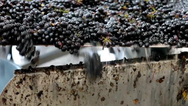 uve pinot nero durante raccolto su nastro trasportatore - azienda vinicola video stock e b–roll