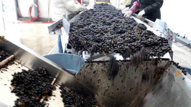 vídeos de stock e filmes b-roll de pinot noir durante a colheita de uvas no tapete rolante - uva shiraz