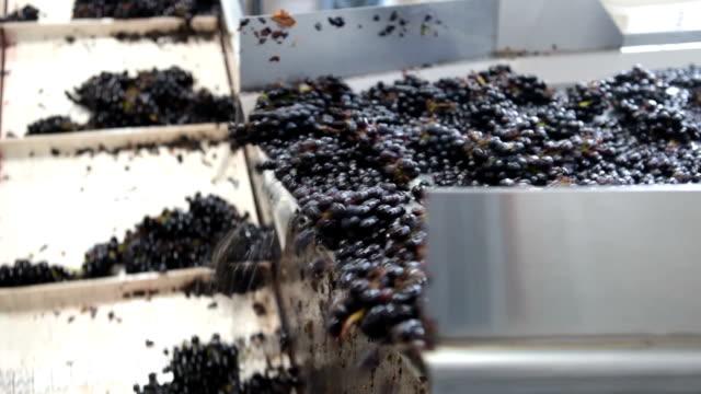 vídeos de stock e filmes b-roll de pinot noir uvas no tapete rolante - uva shiraz