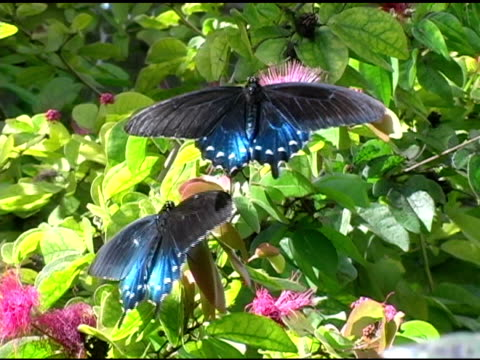 Pipevine Swallowtail Butterfly 1 NTSC video