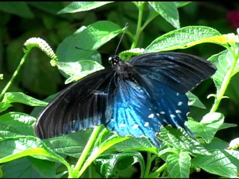 farfalla di coda forcuta di pipevine 3 ntsc - appollaiarsi video stock e b–roll