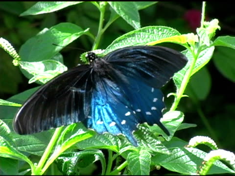 Pipevine Swallowtail Butterfly 4 NTSC video