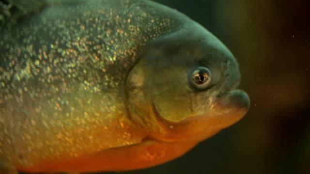 Piranha at aquarium video