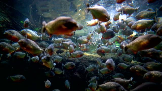 Piranha - Colossoma macropomum Piranha (Colossoma macropomum) in an aquarium freshwater stock videos & royalty-free footage