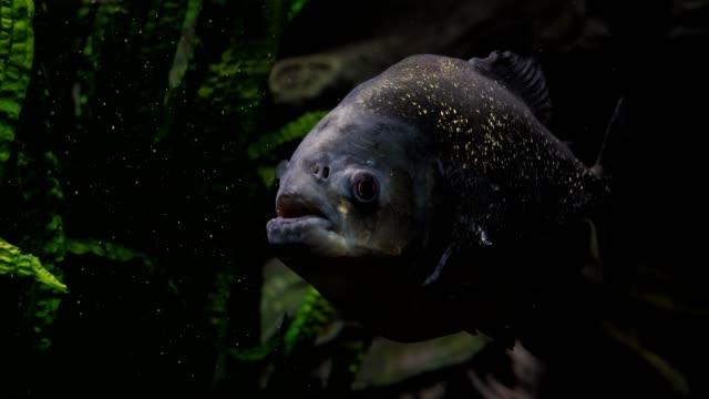 piranha fish in a river or aquarium. - парагвай стоковые видео и кадры b-roll