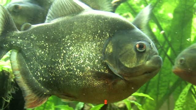 Piranha fish video