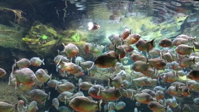 Piranha getting their food Piranha getting their food amazon stock videos & royalty-free footage