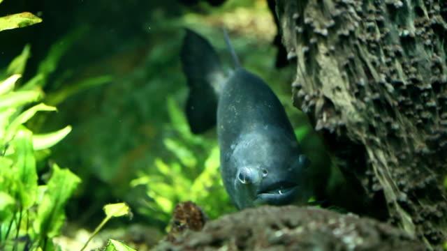 piranha - ichthyologie stock-videos und b-roll-filmmaterial