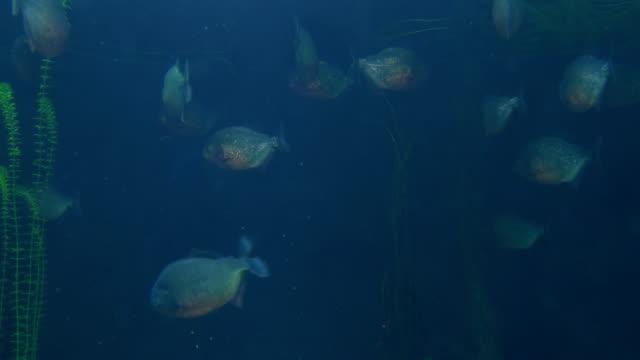 Piranha - video