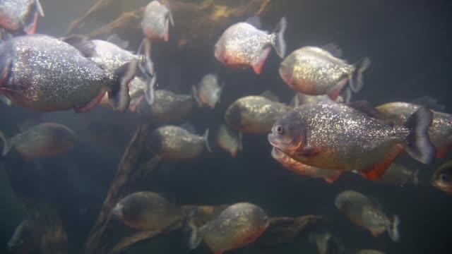 Piranhas fish underwater video