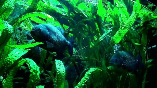 Piranhas Fish Underwater. video