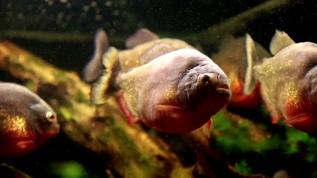 Piranhas video