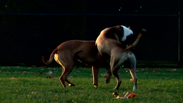 pit bull dogs playing - wrestling stock videos and b-roll footage