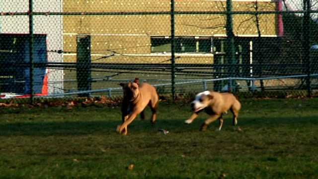 pit bull dogs playing video