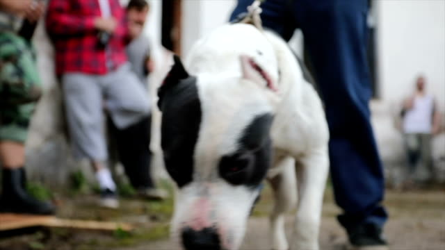 Pit Bull Sniffing Something Bad Criminals Accompanied By Dangerous Pit Bull leash stock videos & royalty-free footage