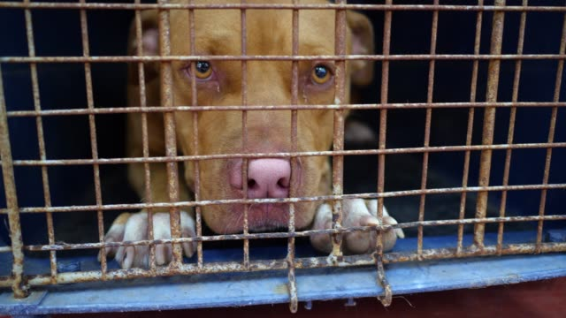 pitbull köpek içinde belgili tanımlık kafes - kafes sınırlı alan stok videoları ve detay görüntü çekimi
