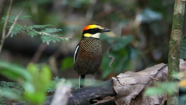 pitta vogel: erwachsene weibliche malays-banding pitta (hydrornis irena) - endemisch stock-videos und b-roll-filmmaterial