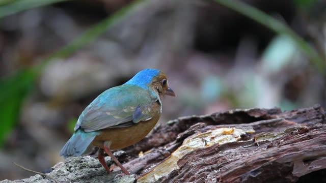 vídeos de stock, filmes e b-roll de pássaro de pitta: azul-cancã pitta (hydrornis nipalensis) - nordeste