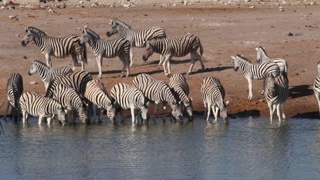 vidéos et rushes de zèbres des plaines (equus burchelli) buvant à un point d'eau, parc national d'etosha, namibie - plan d'eau