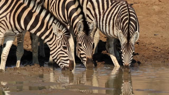 Plains zebras drinking water at a waterhole, Pilanesberg National Park, South Africa Plains zebras (Equus burchelli) drinking water at a waterhole, Pilanesberg National Park, South Africa waterhole stock videos & royalty-free footage