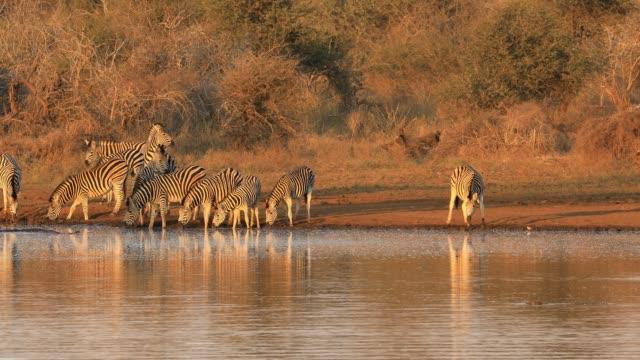 vidéos et rushes de les zèbres des plaines boivent de l'eau dans la lumière tôt le matin, parc national de kruger, afrique du sud - animal eau