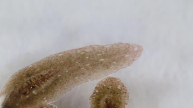 planarischer parasit (flachwurm) unter dem mikroskop. - wurm stock-videos und b-roll-filmmaterial