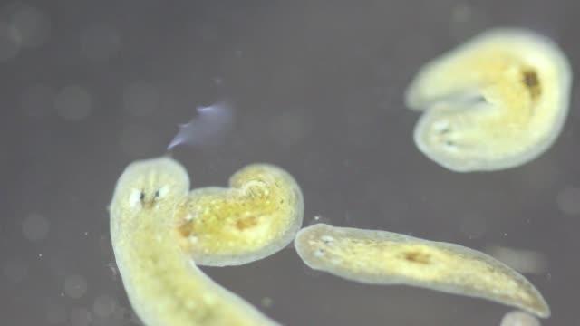 Planarian parasite (flatworm) under microscope view. Planarian parasite (flatworm) under microscope view. animal body stock videos & royalty-free footage
