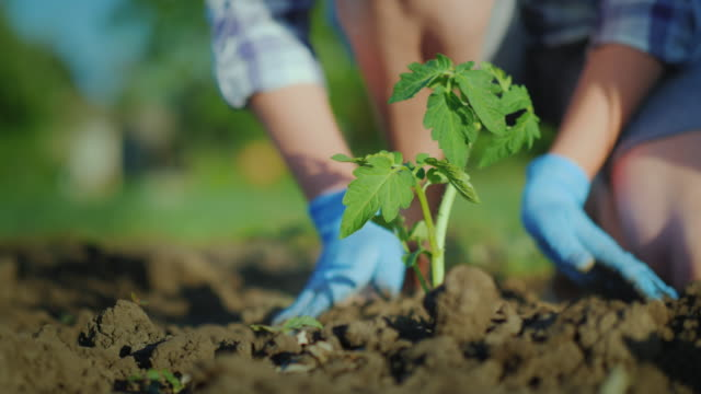 plant a tomato seedlings in the ground. hands gently press the ground around the young sprout - pomodoro video stock e b–roll