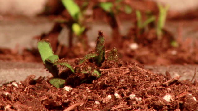 Plant emerging from soil video