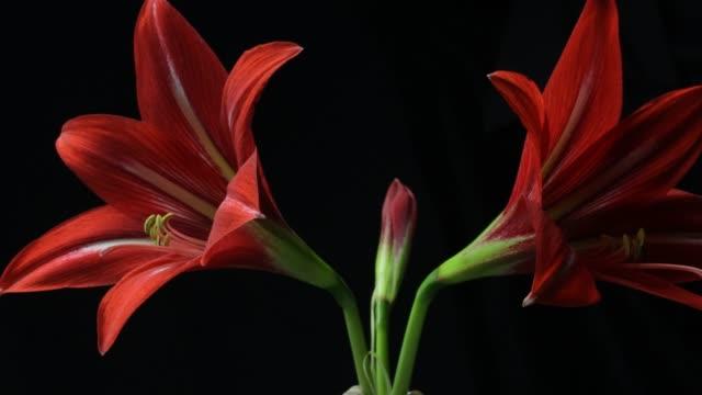 plantera blomman blommande tid förflutit amaryllis blommar (hippeastrum sp.) - amaryllis bildbanksvideor och videomaterial från bakom kulisserna